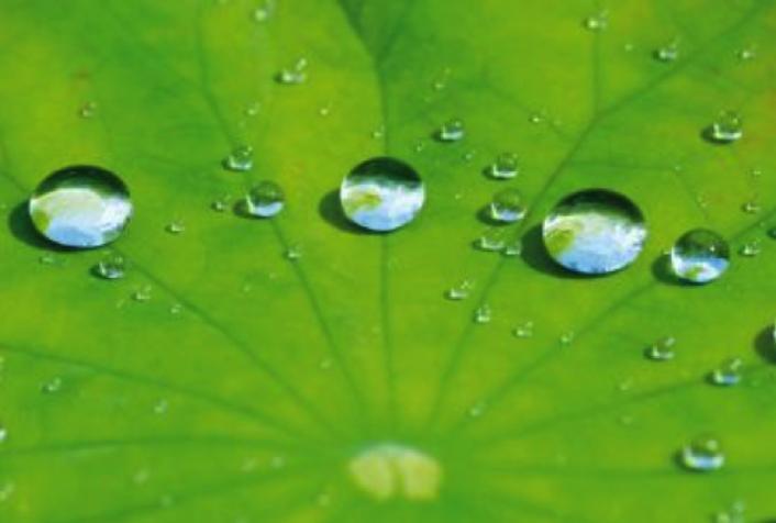 Foglia di loto (idrofobica e autopulente)